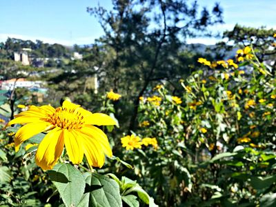 baguio sunflowers lourdes grotto