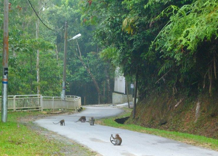 penang hill monkeys